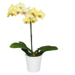 Planta de Orquídea Novara