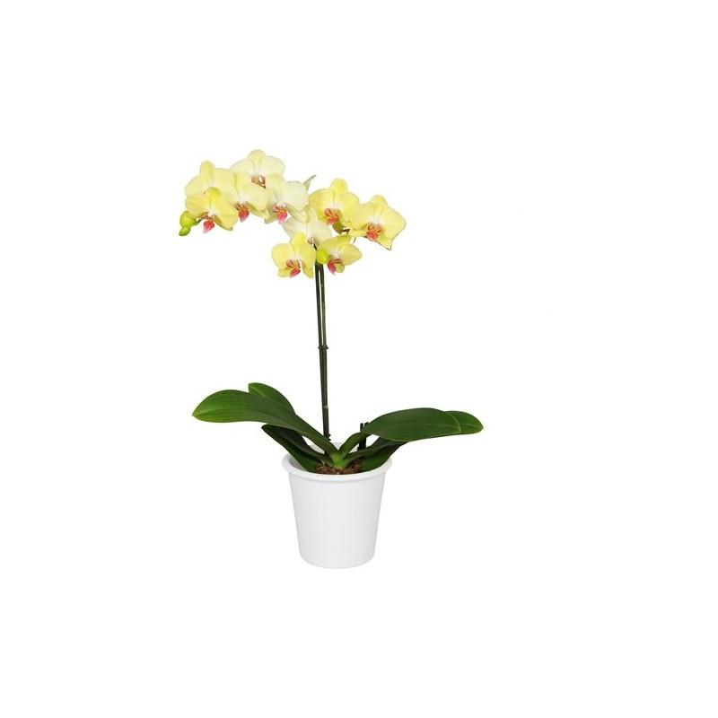 Planta de Orquídea Antalya