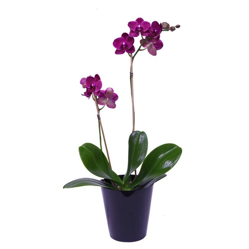 Orquídea Primaveral x2