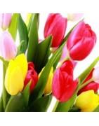 Tulipanes Frescos